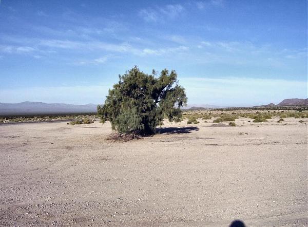 Bagdad Tamarisk Tree