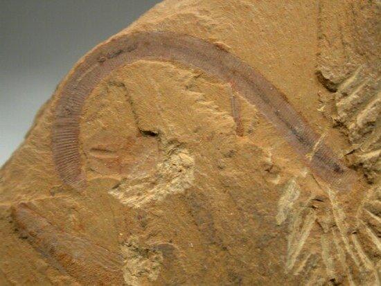 澄江动物群国家地质公园位于云南澄江帽天山地区,面积18km2,是早寒武世(5.3亿年)40多个门类,100余种珍稀动物化石的发现地,其中有无脊椎动物化石,也有原始脊索动物化石。特别可贵的是,现今生物所有门类的远祖代表都有发现,有硬体也有软体印模,为人们研究寒武纪早期生物大爆发过程中生理结构、生物习性、系统演化和生态环境等提供了丰富精美的材料。而濒临的抚仙湖又是第四纪断陷盆地,深水中有古城镇遗迹,有望成为科学研究和科普教育基地。