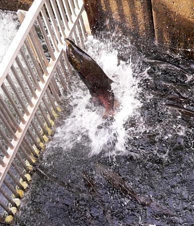 Nimbus fish hatchery for Nimbus dam fishing