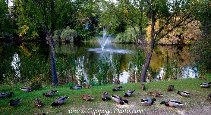Redlich pond park kelowna for Koi pond kelowna