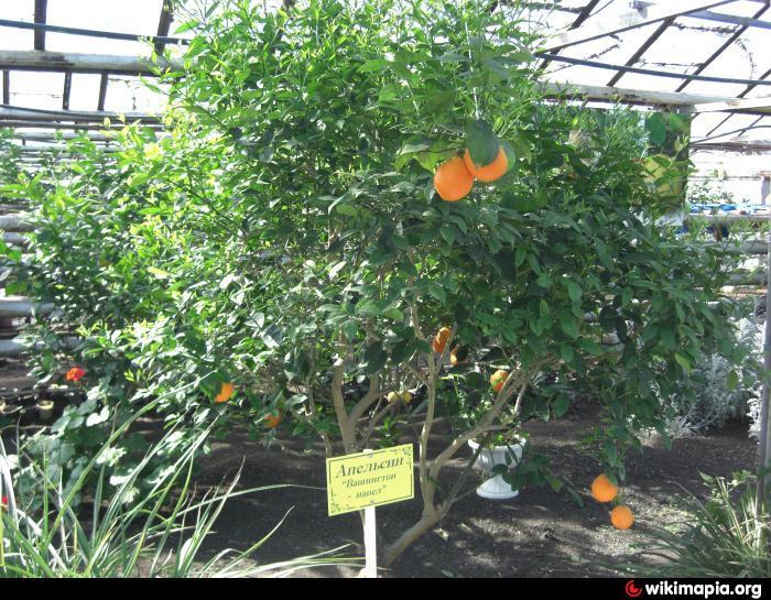 Выращивание в теплице фейхоа 36