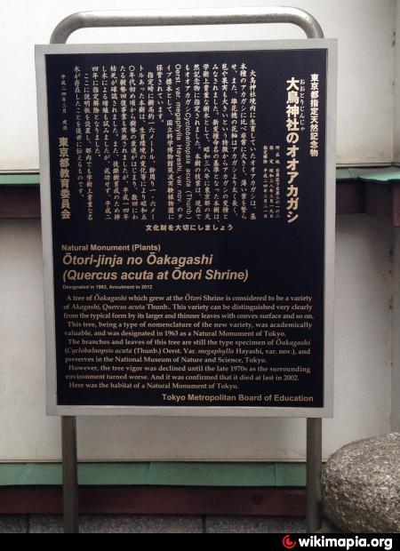 大鳥神社のオオアカガシ