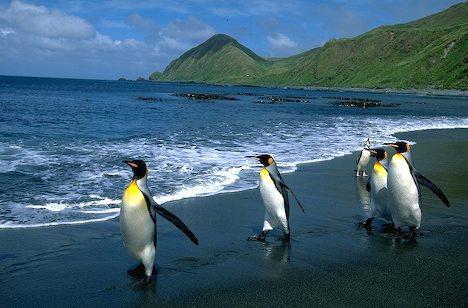 マッコーリー島の画像 p1_5
