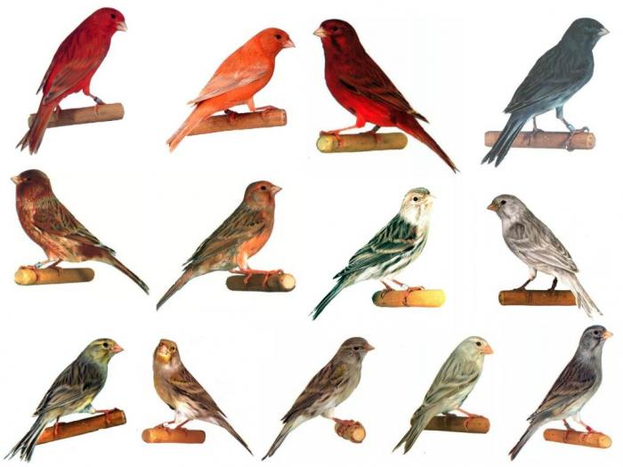 Canary Colours  Canary  Finches and Canaries  Guide