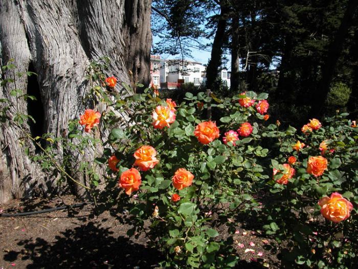 Golden Gate Park Rose Garden San Francisco California